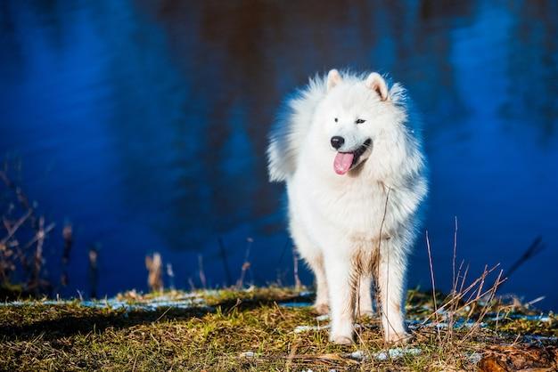 乾いた草の春の自然の池の川の近くの公園で白いふわふわサモエド犬の子犬が歩いています。
