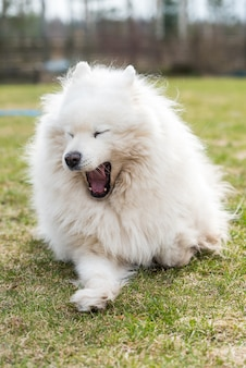야외에서 하 품하는 흰색 솜 털 samoyed 개