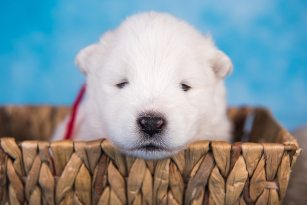 White fluffy small samoyed puppy dog in a basket on blue background