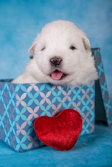 White fluffy small samoyed puppy dog in a gift box with a red heart on blue background