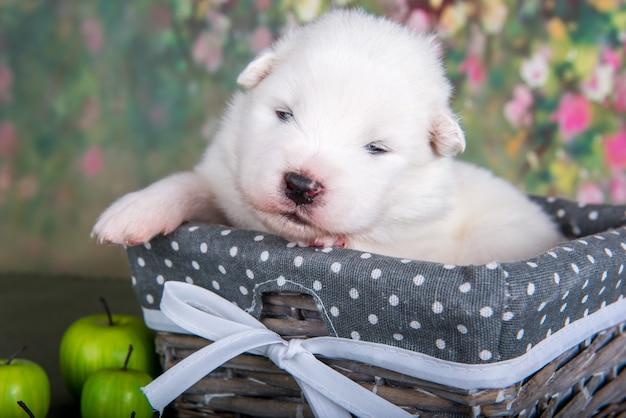 りんごのバスケットに白いふわふわの小さなサモエド子犬犬