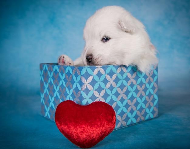 Белый пушистый маленький щенок самоеда в подарочной коробке с красным сердцем на синем фоне