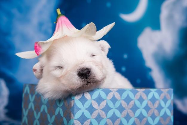 Белый пушистый маленький щенок самоеда в подарочной коробке