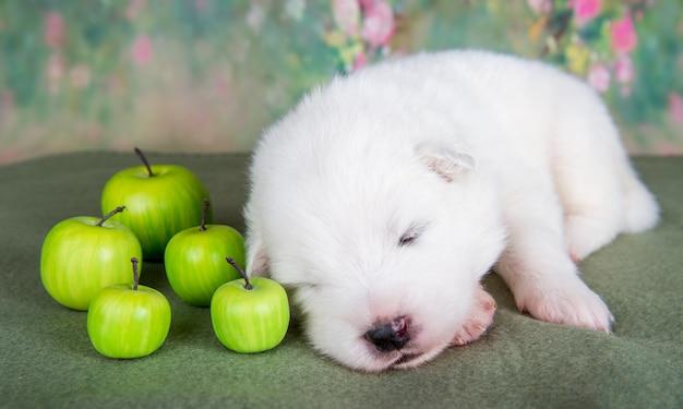 リンゴと白いふわふわの小さなサモエド子犬犬