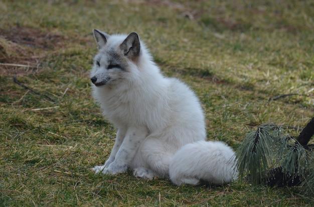 Белая лиса сидит на поле