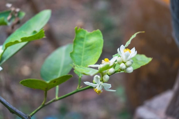 White fragrant lemon flowers on a flowering tree branch of an evergreen plant in spring.