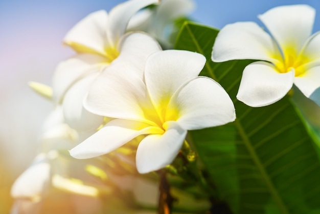 White frangipani flower or white plumeria flower blooming