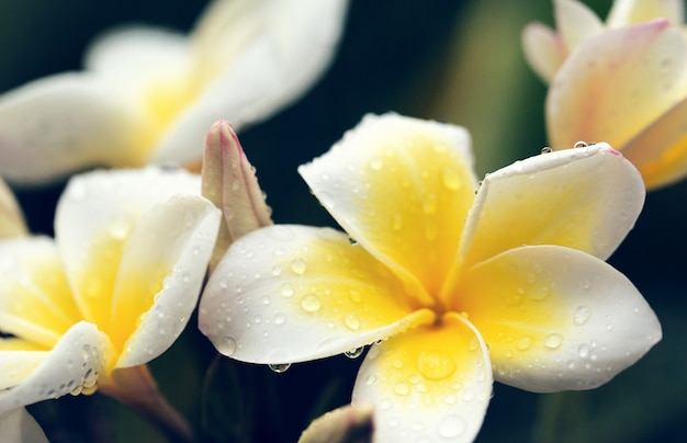 White frangipani flowers with water drops