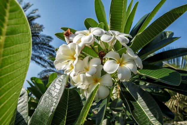 白いフランジパニの花