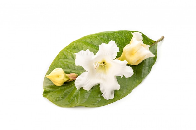 White fresh easter lily vine, herald trumpet, nepal trumpet or hirunika flower in thai name isolated