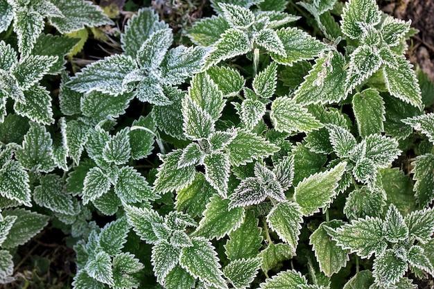 イラクサの葉の白い霜。最初の霜