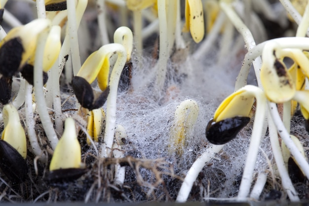 White fungus on soil with sunflower seeds.