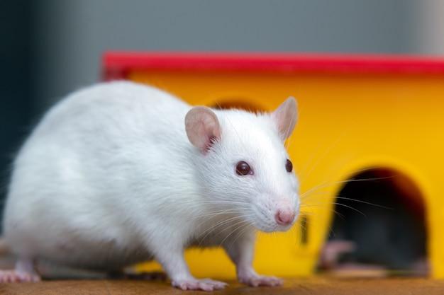 Белая смешная домашняя крыса возле желтого пластикового игрушечного домика.