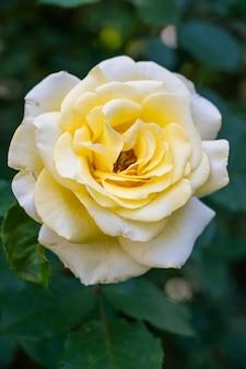 ぼやけた日光の下で緑に囲まれた白い庭のバラ