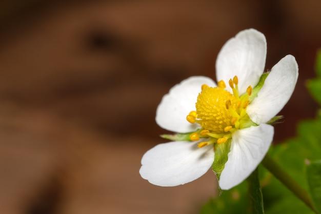 ホワイトガーデンイチゴの花-白い花びらの花と緑の葉