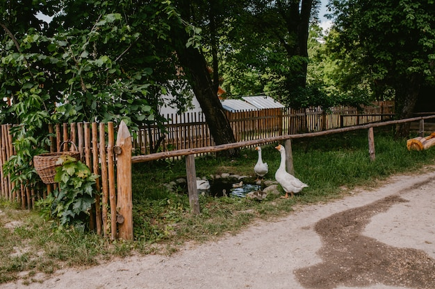White geese at a wooden fence in the village
