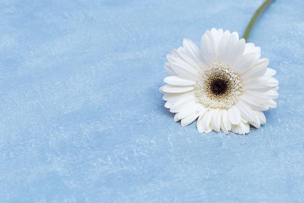 Натуральный цветок белой герберы на текстурированном синем