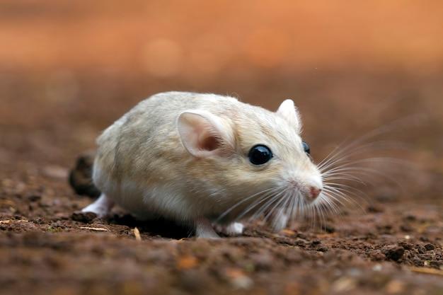 White gerbil in the field