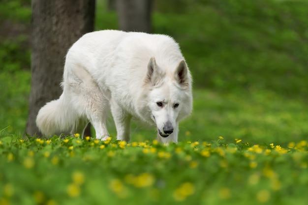 Белая немецкая овчарка на летнем лугу. berger blanc suisse