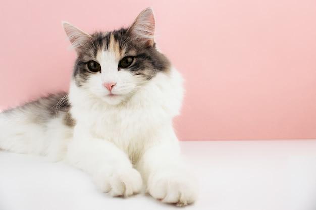 白いテーブルの上に横たわっているピンクの鼻を持つ白、生姜、茶色の猫