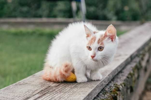 White and ginger cat 3-4 months sits on wooden board against background of grass. kitten with foot bandaged with yellow bandage