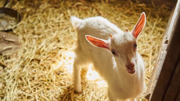 White goat in the beam of light