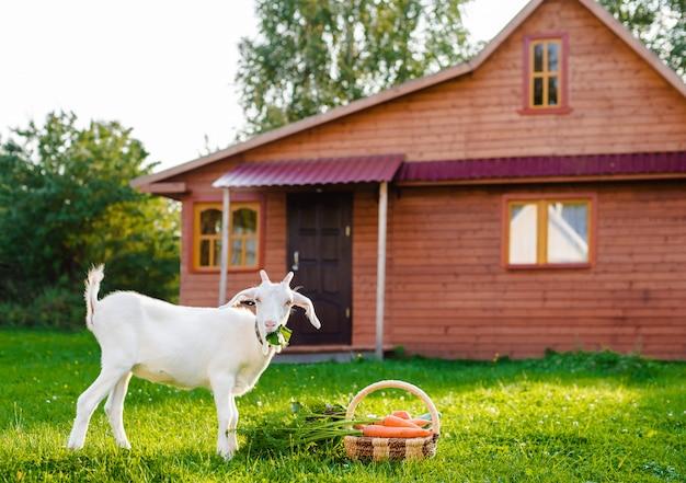 Белая коза жует овощи фермы в доме в деревне outdoors. концепция здорового питания.