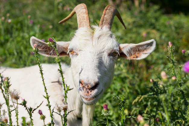 White goat at the farm in grass