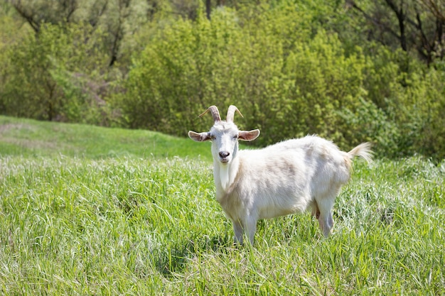 White goat on a green meadow