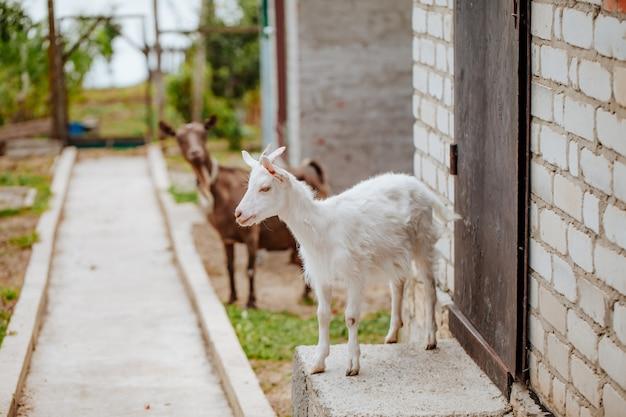農場で白いヤギ