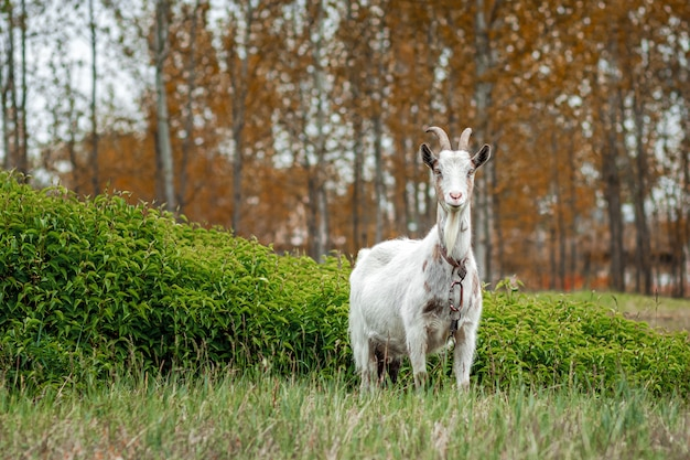 초목을 배경으로 초원에 흰 염소.