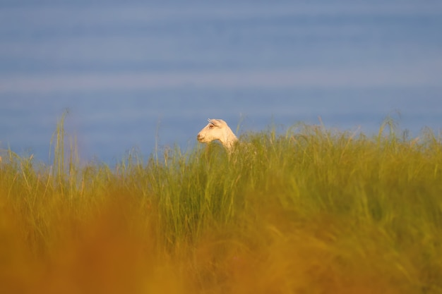 A white goat is photographed in dense grass against the background of the blue water of the estuary
