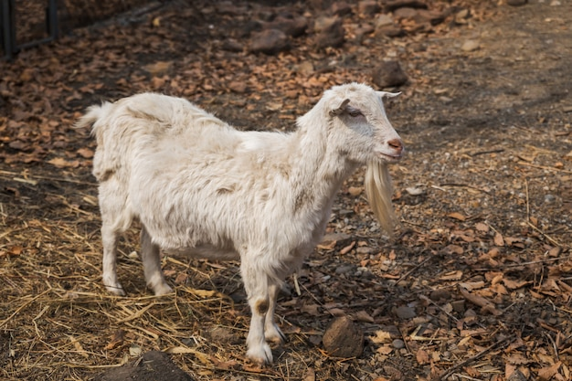 春の農場で白いヤギ