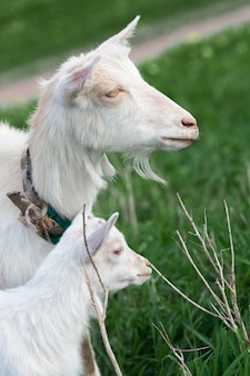 White goat and a small kid graze in a field of green grass. bright sunny summer day.