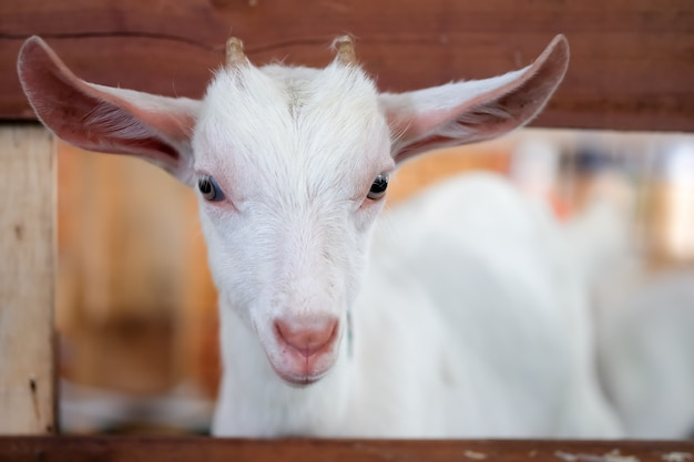 White goat in the stall are looking outside.