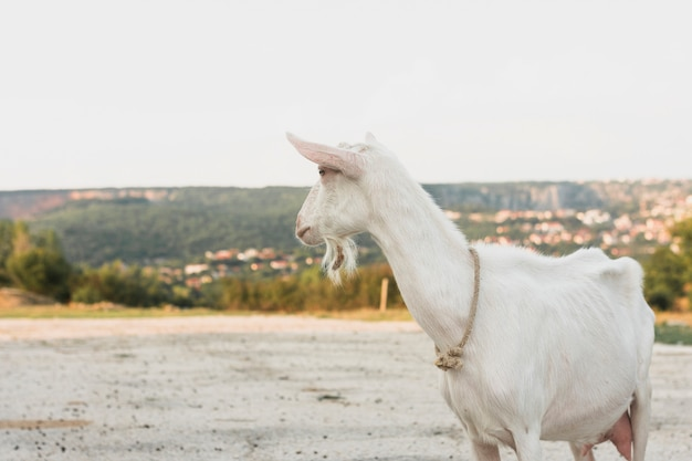 White goat standing on the farm