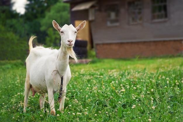 緑の牧草地に立って、背景にカントリーハウスとカメラを見て白いヤギ