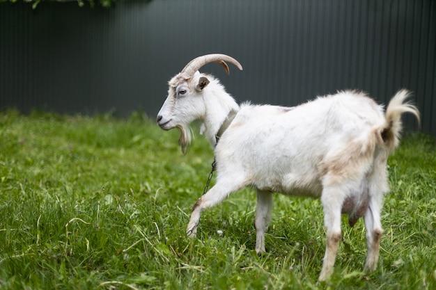 Белая коза с рогами пасется на лугу. вид сбоку