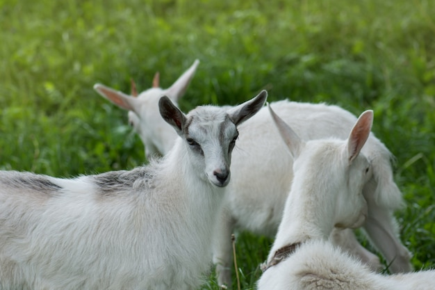 White goat with kids
