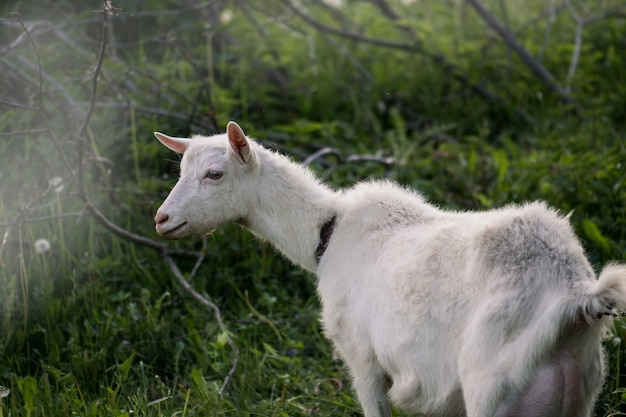 White goat in the yard. goat in a green field. home goat on an animal farm