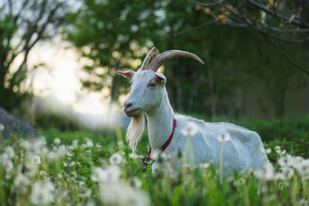 White goat in the yard. goat in a green field. home goat farm location in ukraine