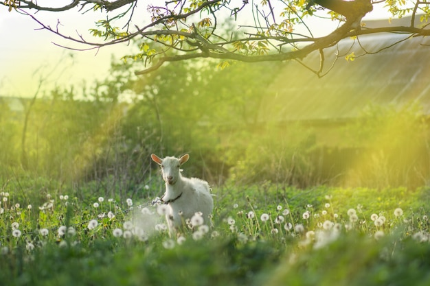 White goat in the yard. goat in a green field. home goat on a farm outdoor