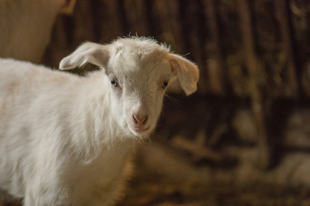 White goats in barn. domestic goats in the farm. lovely white kid goats.  little goats standing in wooden shelter