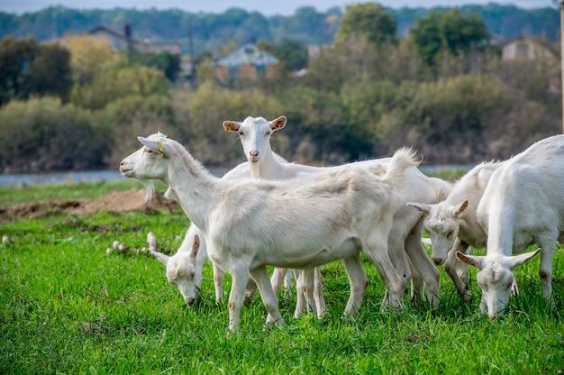 염소 농장의 초원에 흰 염소. 흰 염소