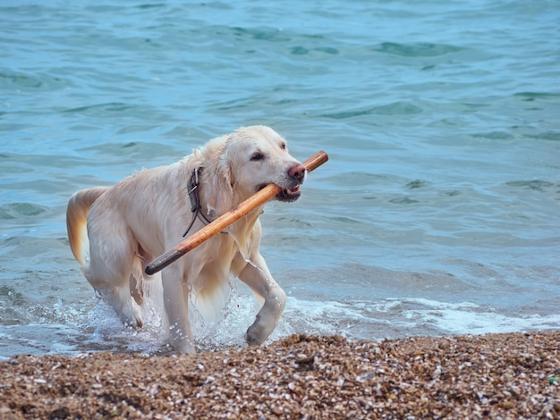 ビーチで白いゴールデンレトリバー犬