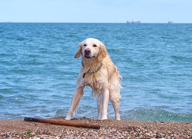 Белый золотой лабрадор ретривер на пляже