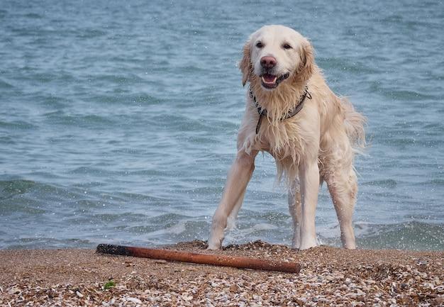 ビーチで白い黄金のラブラドールレトリバー犬
