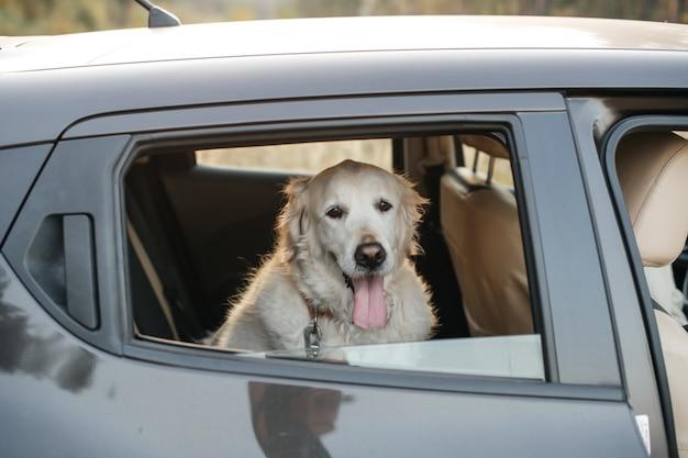 Белая собака золотистого ретривера в машине
