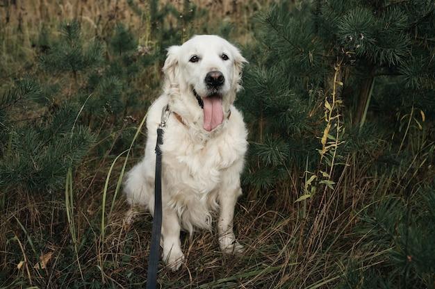 숲에서 화이트 골든 리트리버 강아지