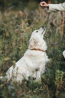 犬の御馳走を見ている白いゴールデンレトリバー犬